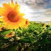 太阳的向日葵